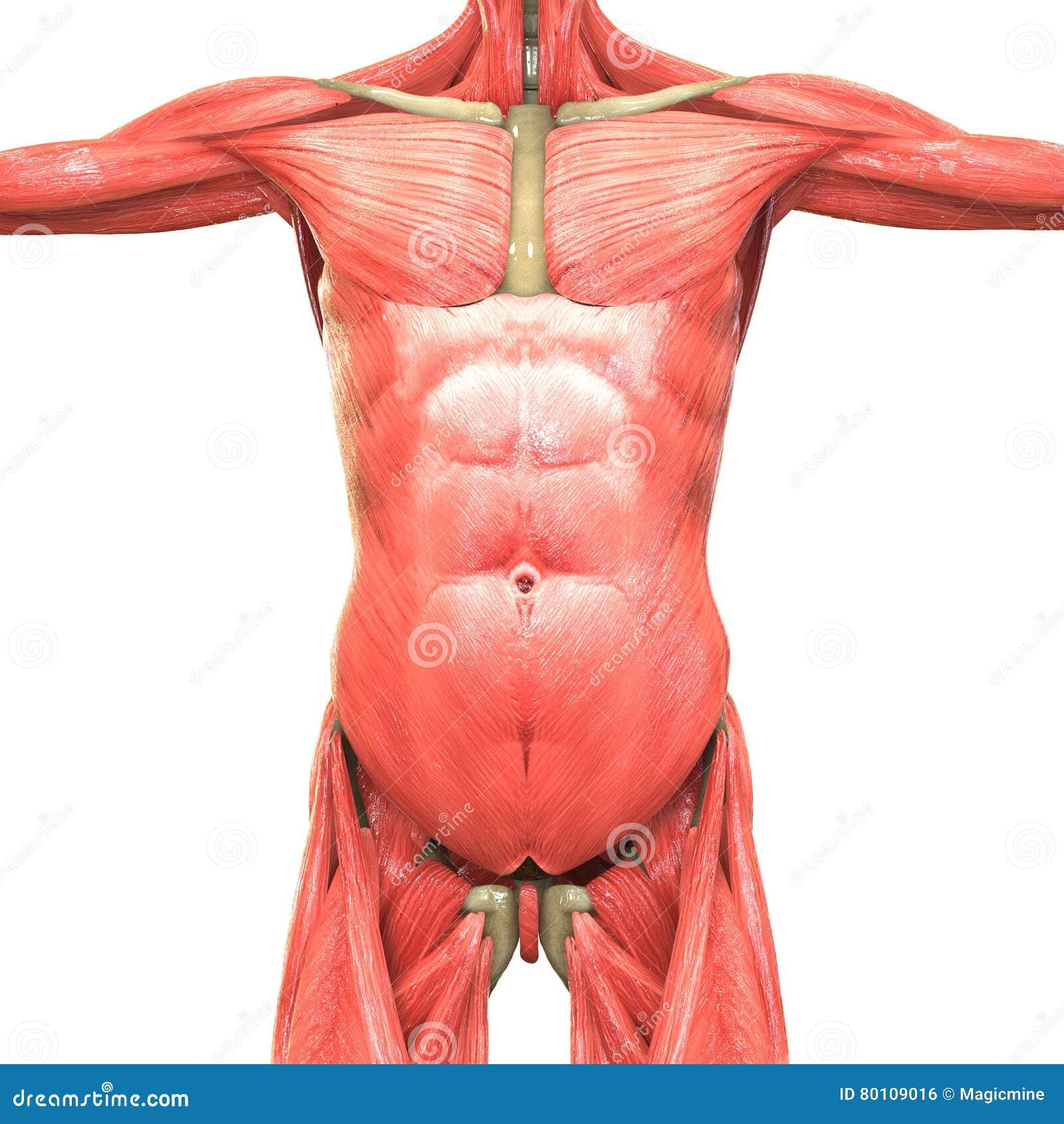 Groß Menschlicher Körper Anatomie Ppt Bilder - Physiologie Von ...