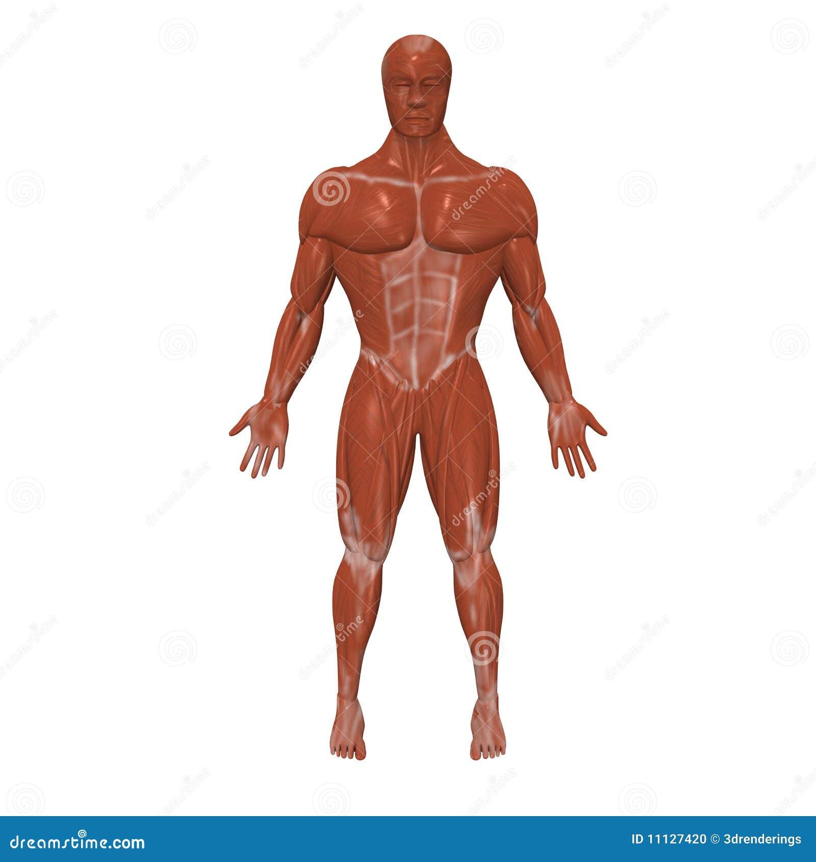 Menschliche Muskeln stock abbildung. Illustration von muskel - 11127420