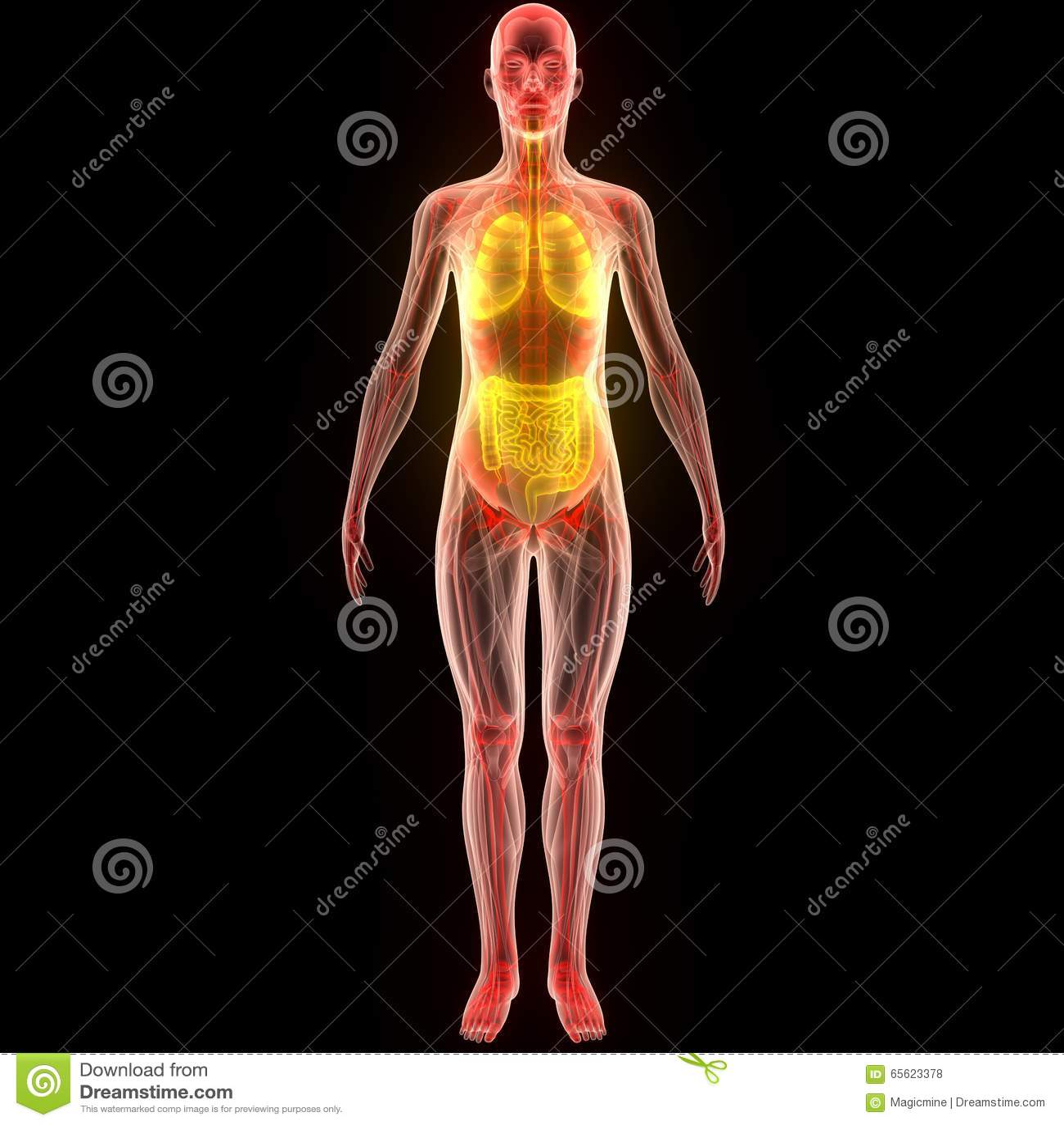 Beste Anatomie Muskel Spiel Bilder - Menschliche Anatomie Bilder ...