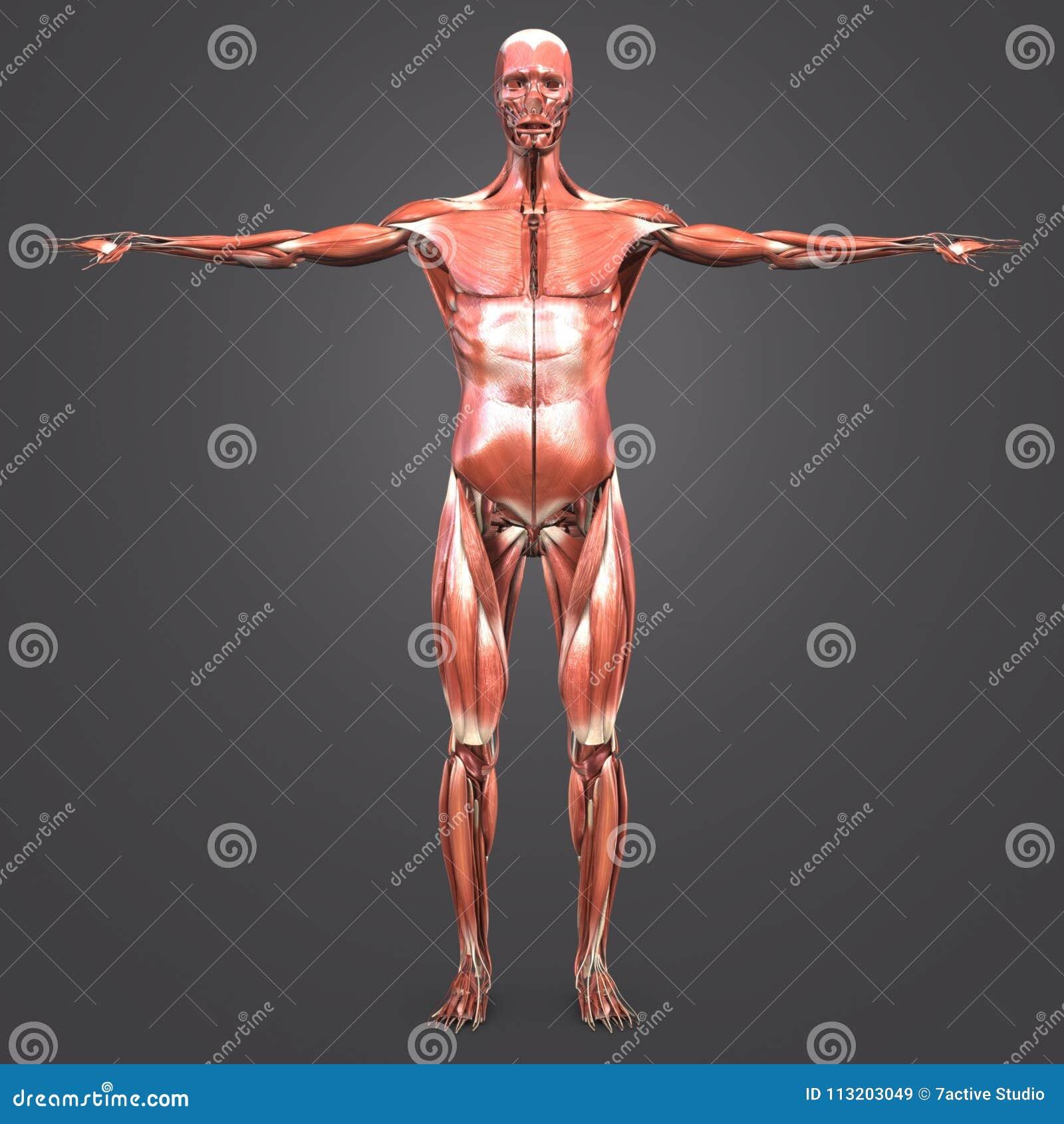 Menschliche Muskulöse Anatomie-Vorderansicht Stock Abbildung ...