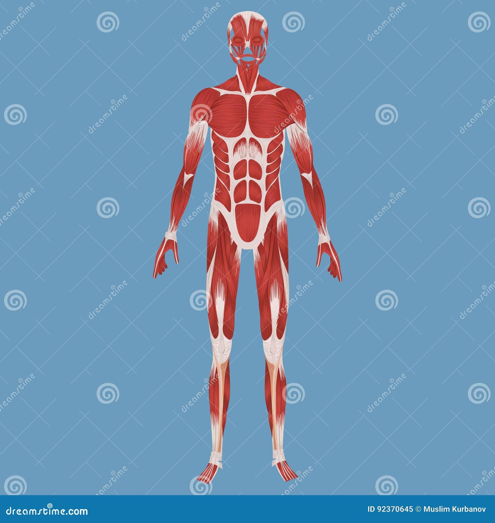 Menschliche Muskulöse Systemillustration Stockbild - Bild von biceps ...