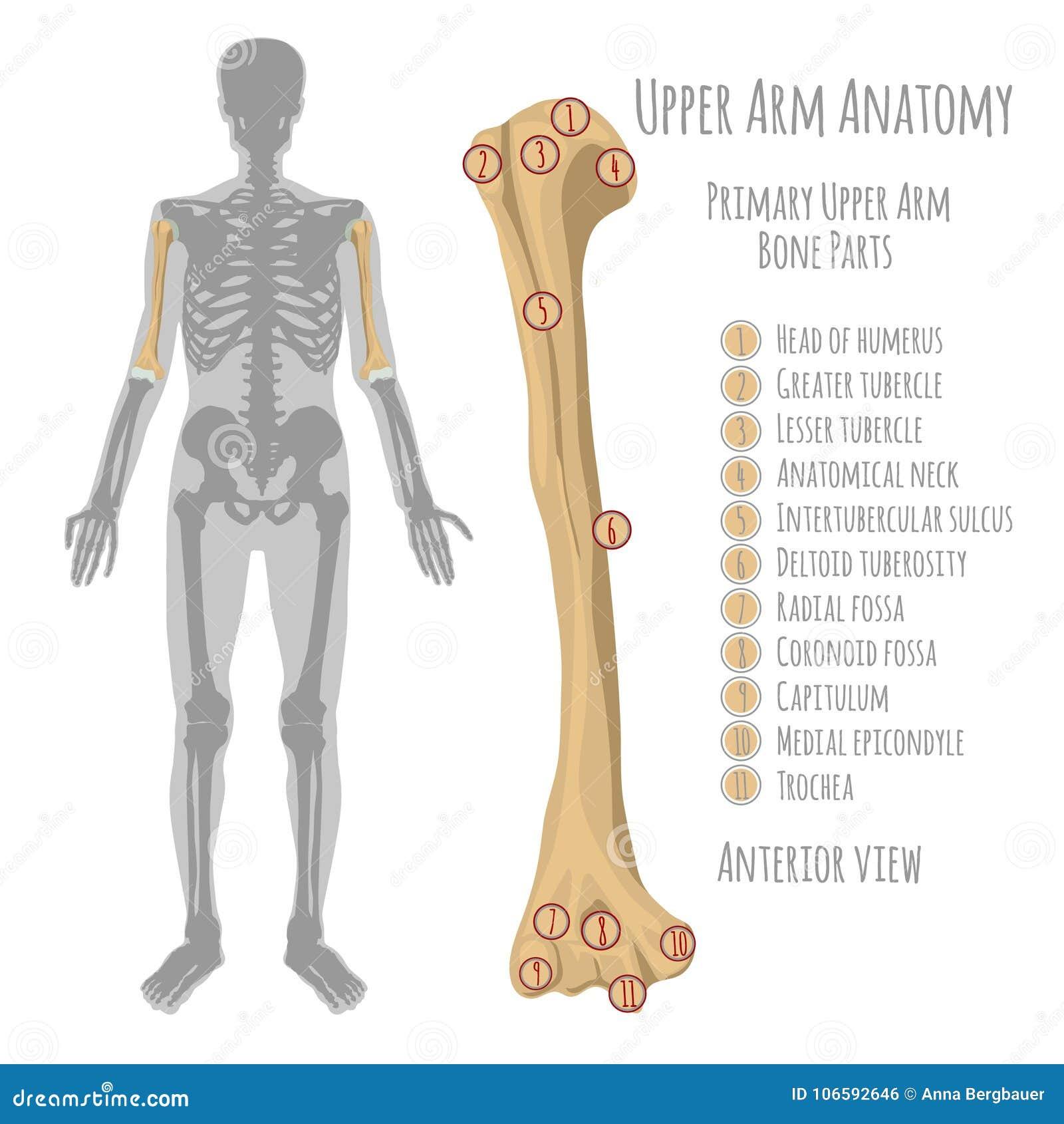 Menschliche Oberarmanatomie Vektor Abbildung - Illustration von ...