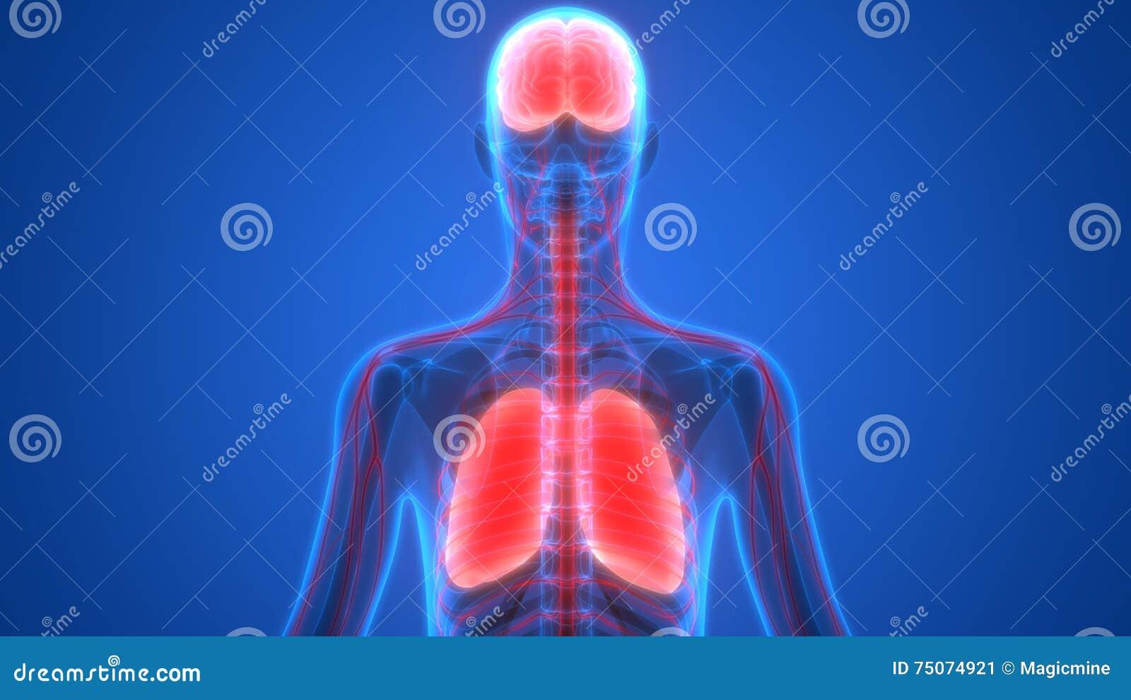 Menschliche Organ-Lungen Und Gehirn Mit Nervensystem-Anatomie Stock ...