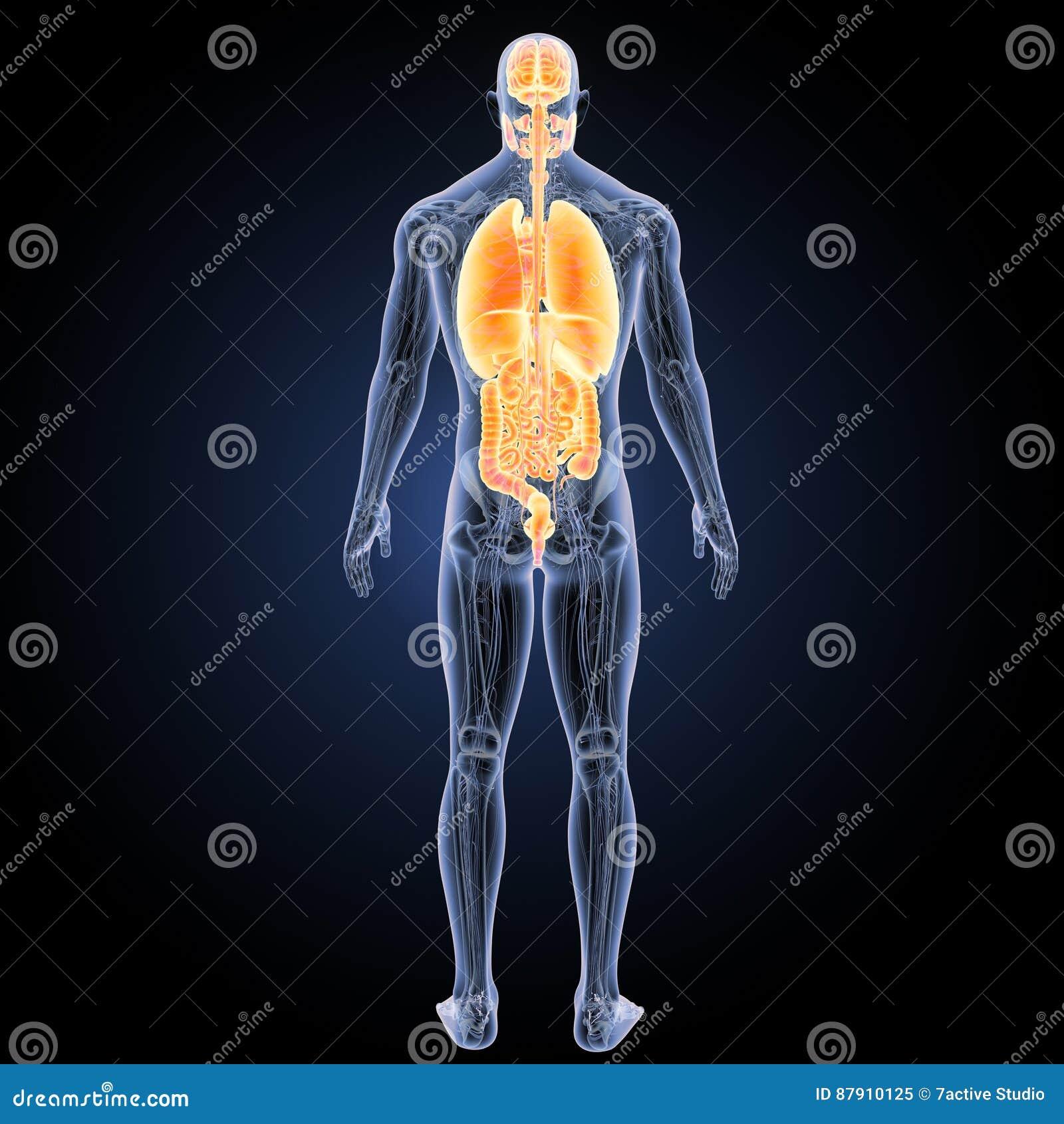 Menschliche Organe Mit Anatomierückansicht Stock Abbildung ...