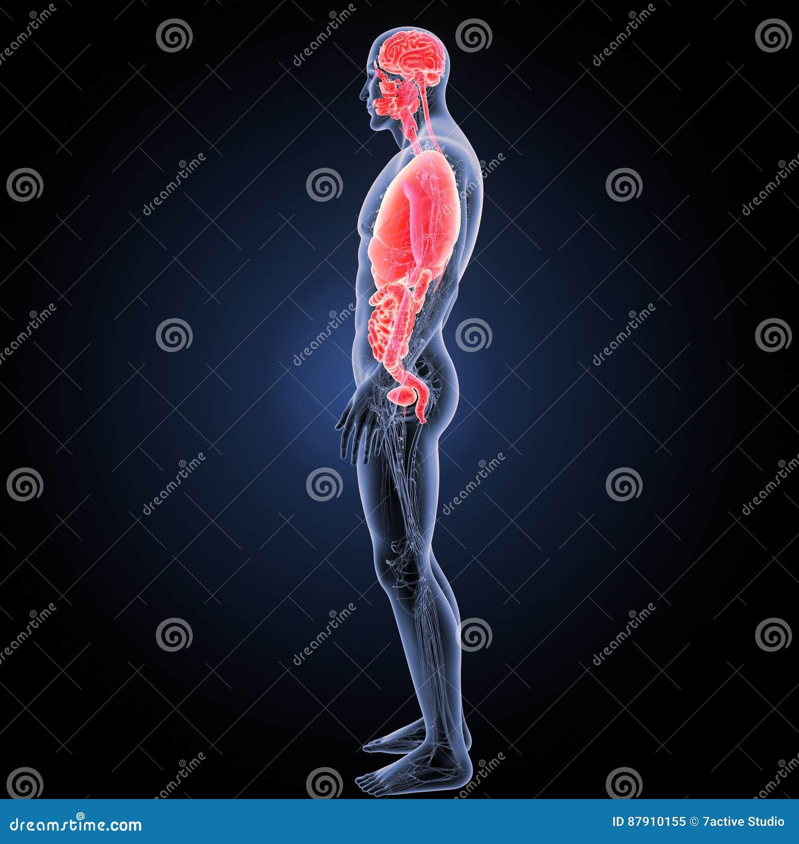 Menschliche Organe Mit Kreislaufsystemseitenansicht Stockbild - Bild ...