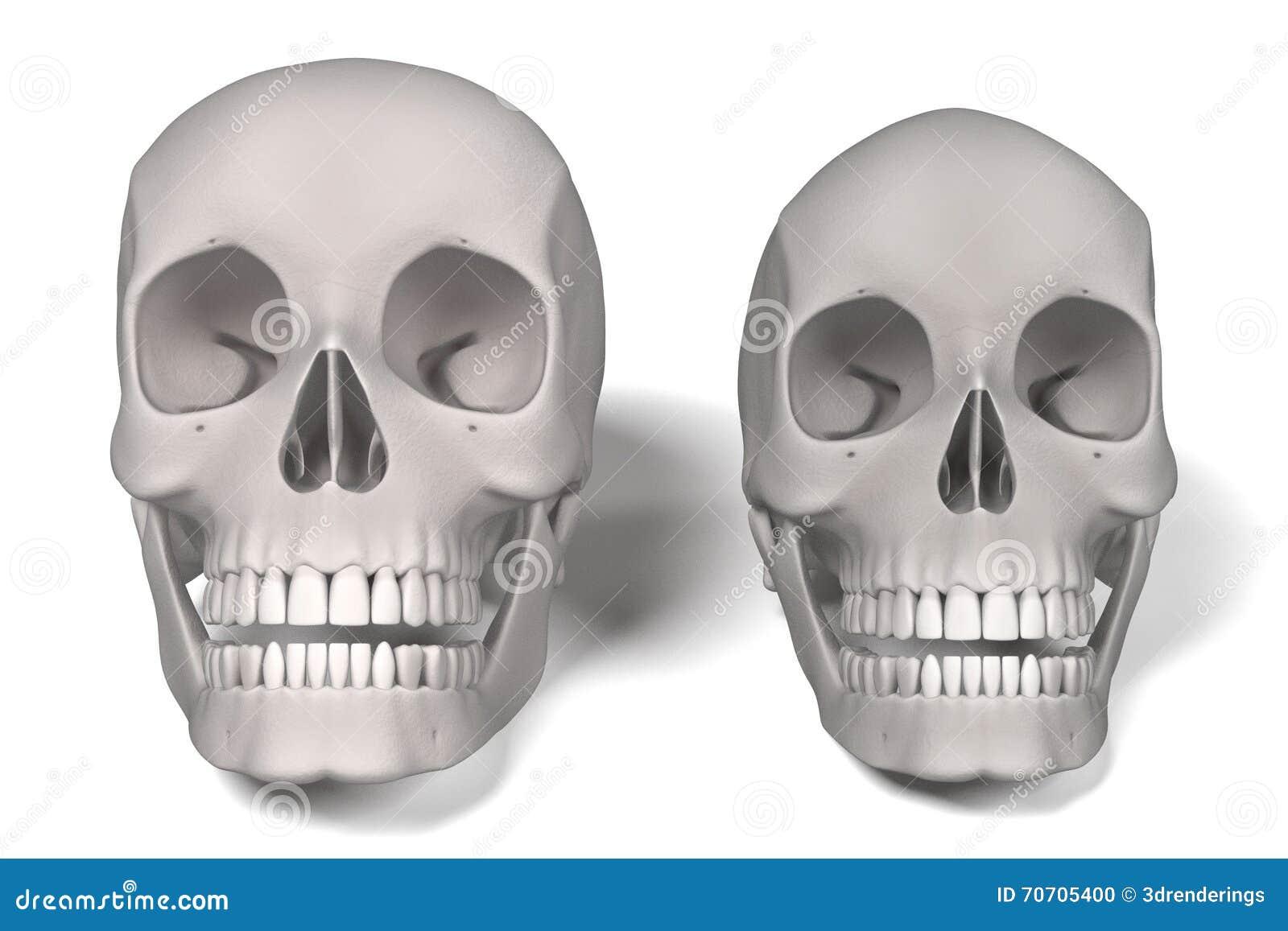 Menschliche Schädel stock abbildung. Illustration von anatomie ...
