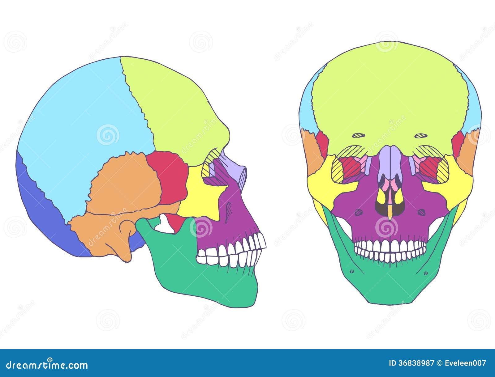 Menschliche Schädelanatomie, Vektor Abbildung - Illustration von ...