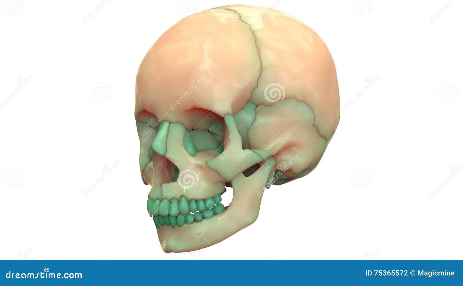 Menschliche Skeleton Schädel-Anatomie Stock Abbildung - Illustration ...