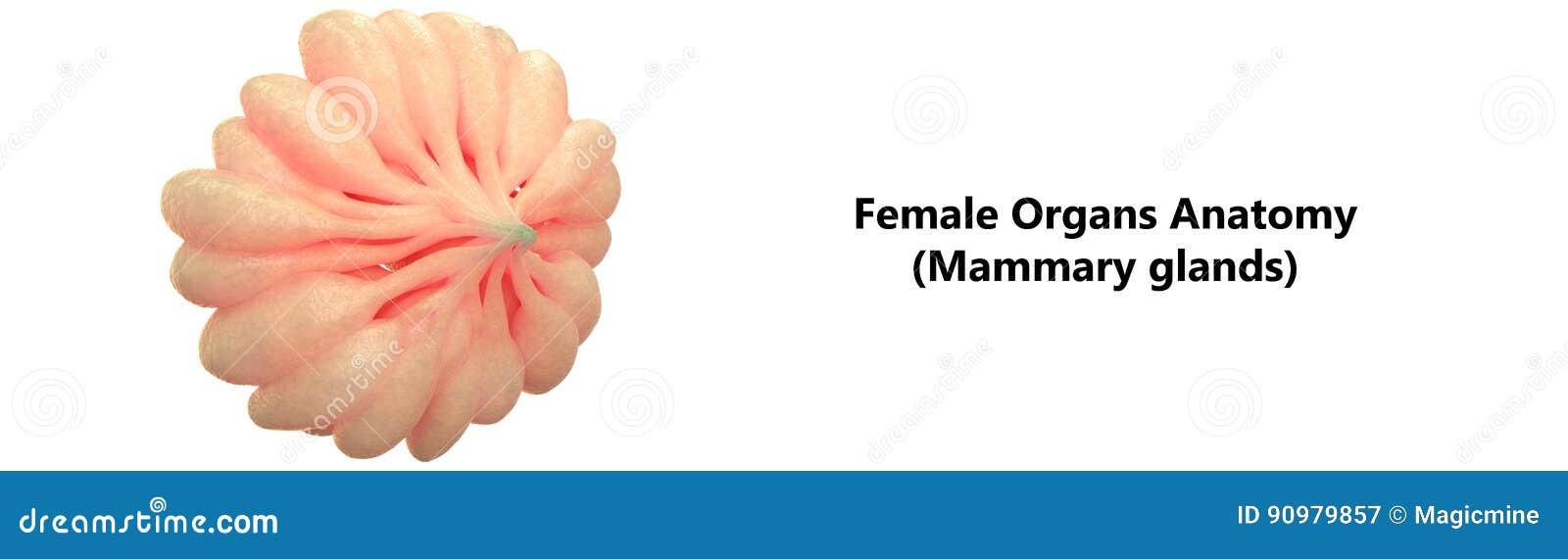 Menschliche Weiblicher Körper-Organ-Milch- Drüsen Stock Abbildung ...