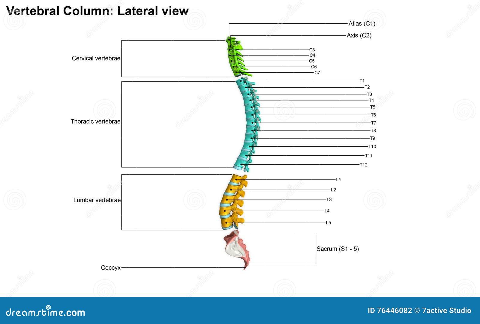 Menschliche Wirbelsäule stock abbildung. Illustration von zervikal ...