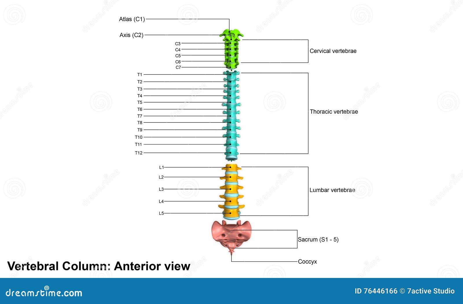 Menschliche Wirbelsäule stock abbildung. Illustration von mann ...
