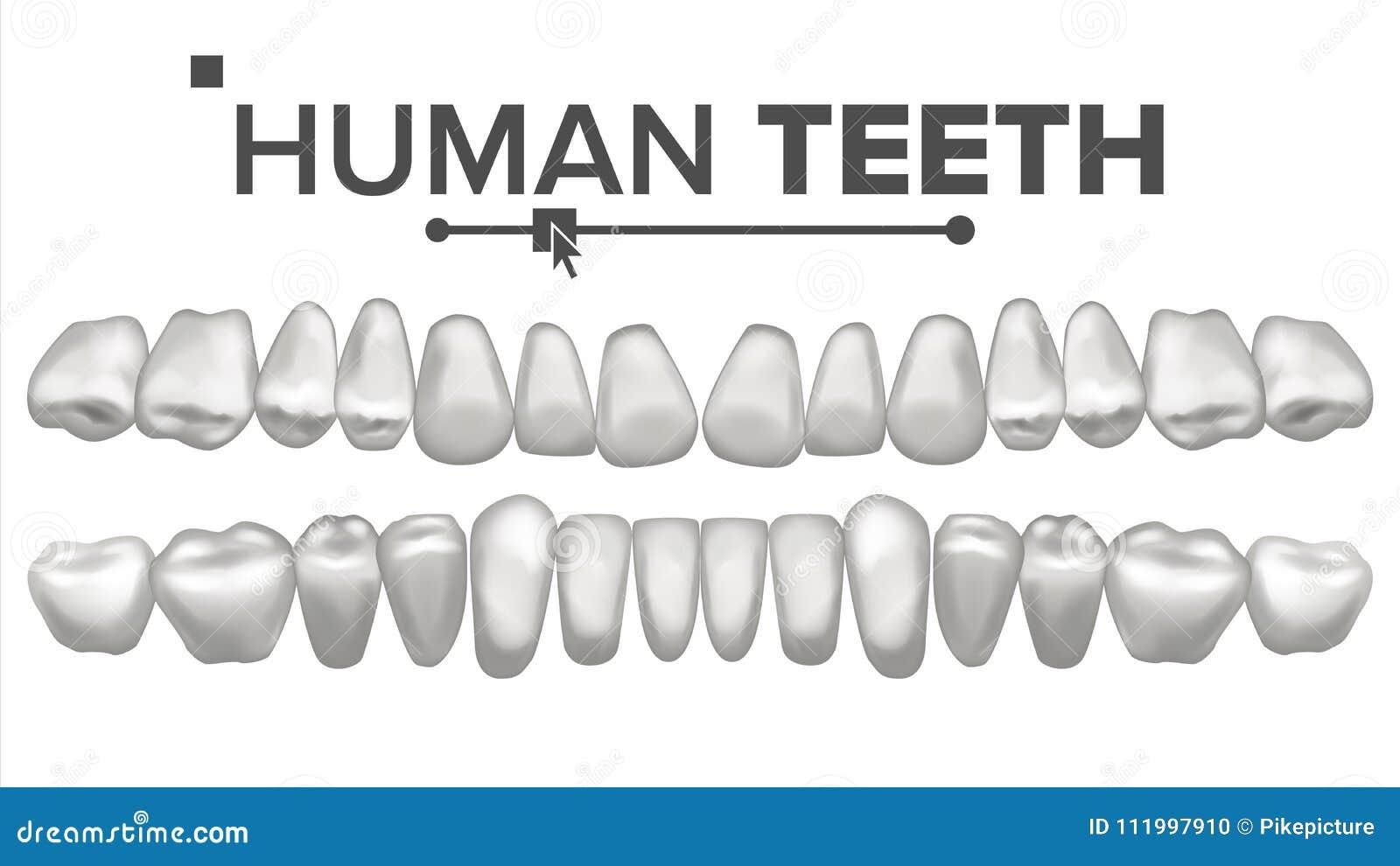 Menschliche Zähne Eingestellter Vektor Zahnmedizinische Gesundheit ...