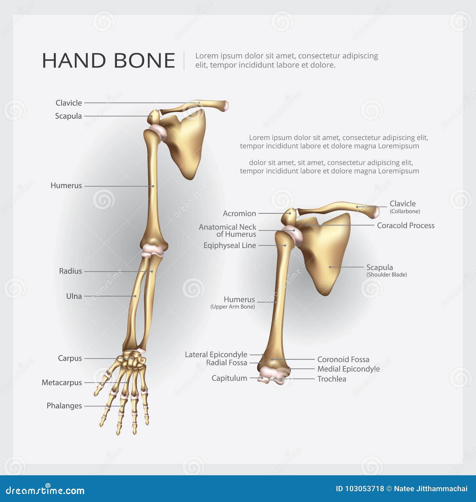 Beste Fossa Anatomie Fotos - Anatomie Und Physiologie Knochen Bilder ...