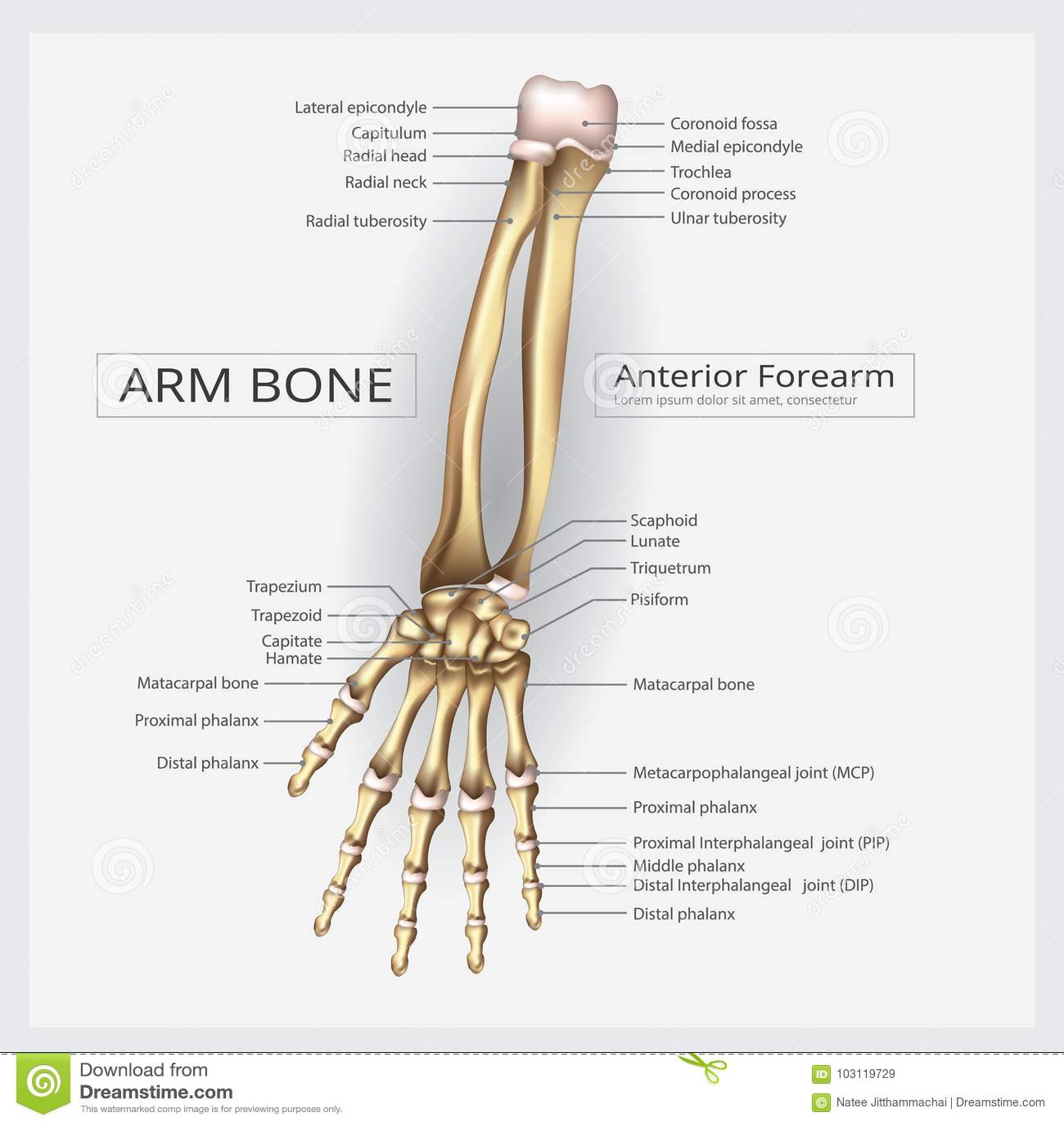 Menschlicher Anatomie-Handknochen Vektor Abbildung - Illustration ...