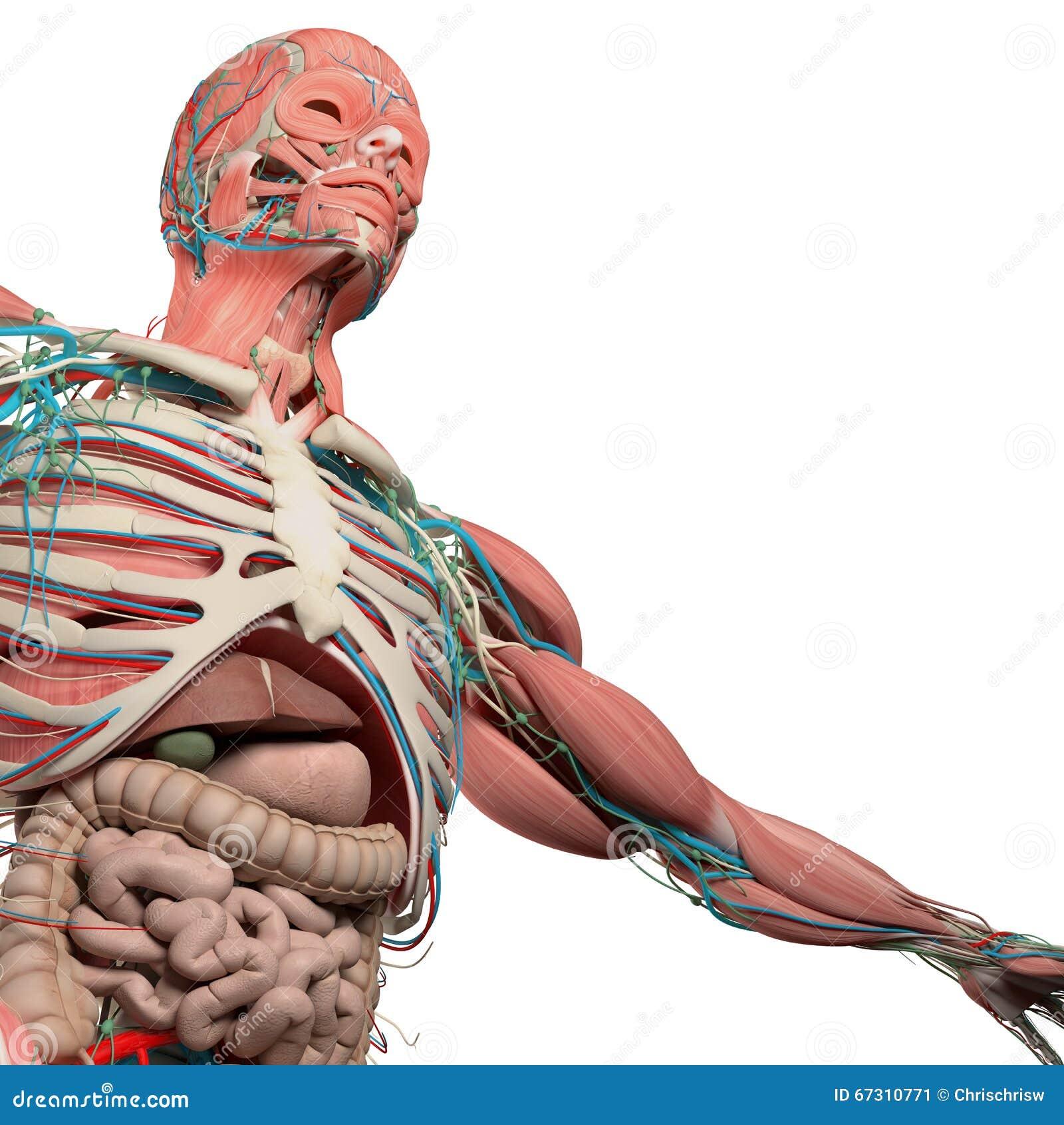 Menschlicher Anatomiekasten, Torso, Muskel, Darm Auf Einfachem ...