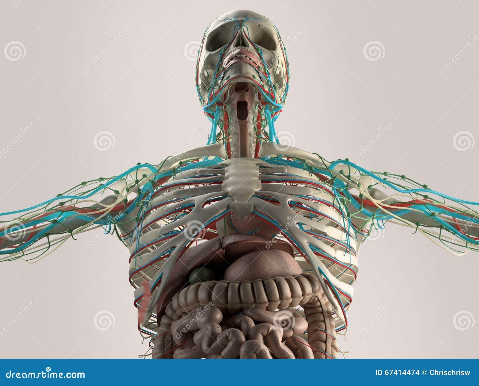 Menschlicher Anatomiekasten vom niedrigen Winkel Knochenstruktur adern Auf einfachem Studiohintergrund