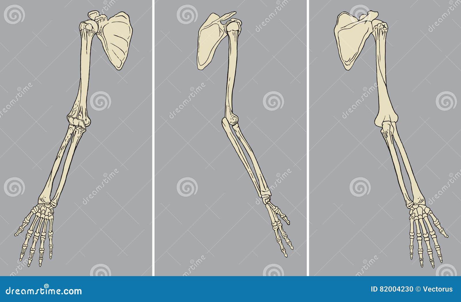 Menschlicher Arm-skelettartiger Anatomie-Satz-Vektor Vektor ...