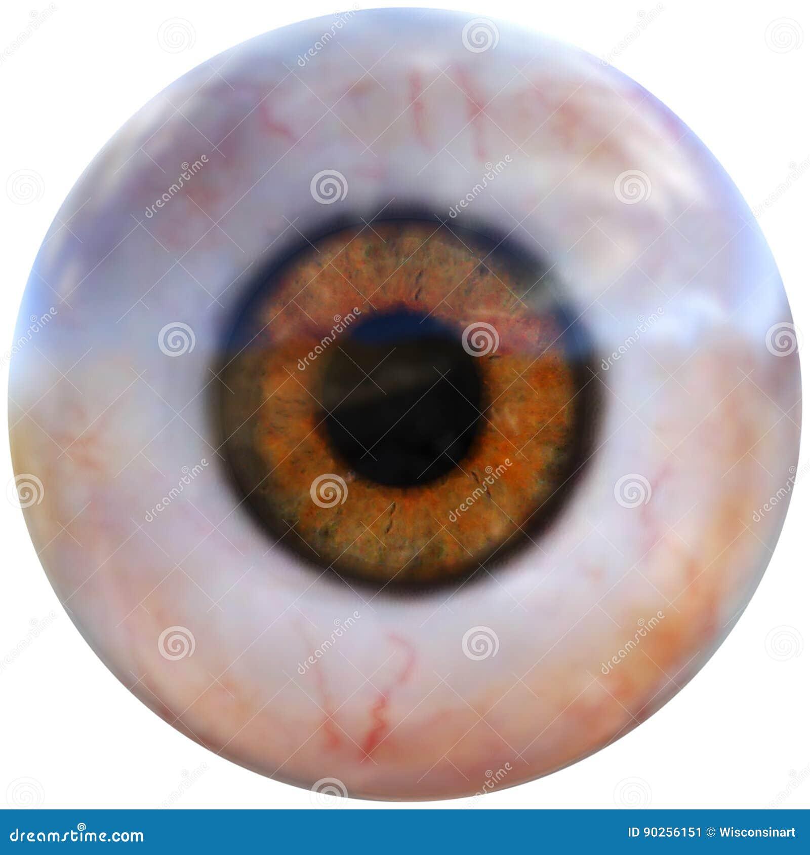 Menschlicher Augapfel, Augen-Organ, Lokalisiert Stockbild ...