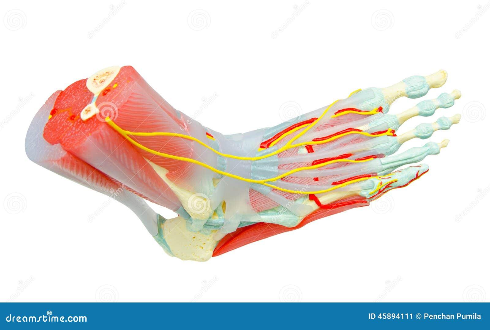 Menschlicher Fuß Mischt Anatomie-Modell Mit Stockbild - Bild von ...