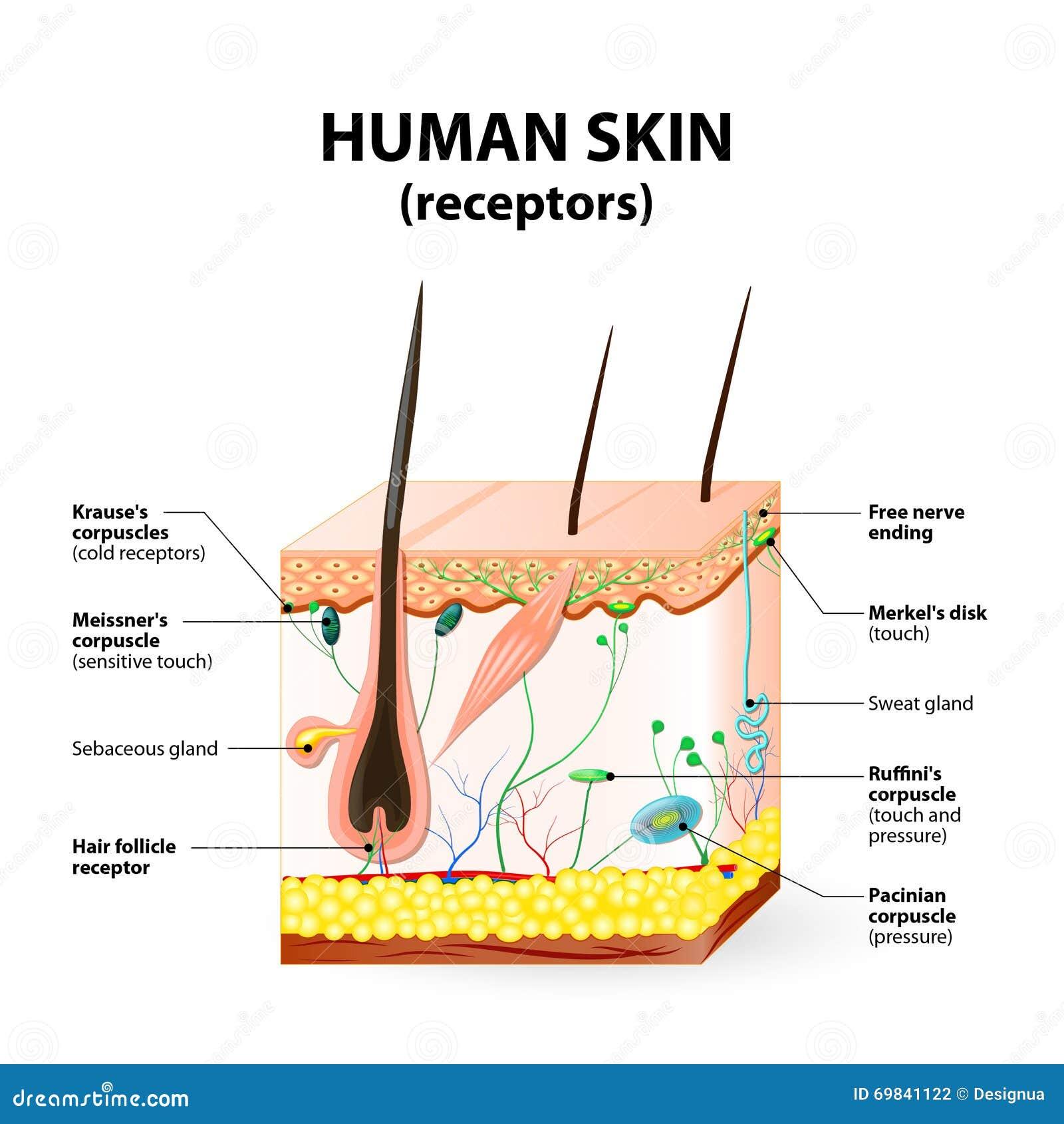 Menschlicher Hautschicht-Vektorquerschnitt Vektor Abbildung ...