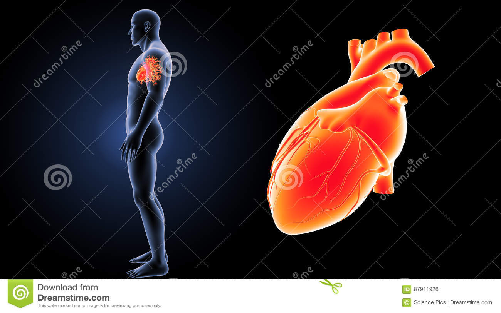Menschlicher Herzzoom Mit Körperseitenansicht Stockfoto - Bild von ...