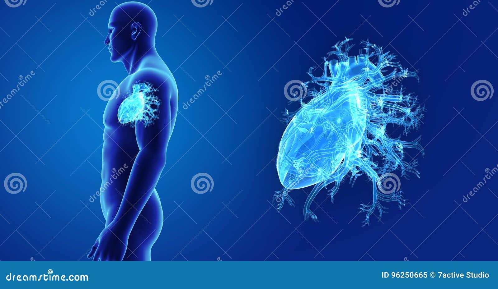 Menschlicher Herzzoom Mit Körperseitenansicht Stock Abbildung ...
