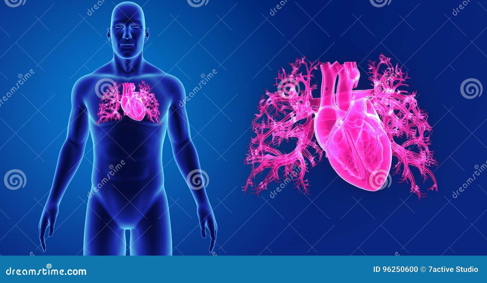 Menschlicher Herzzoom Mit Körpervorderansicht Stock Abbildung ...