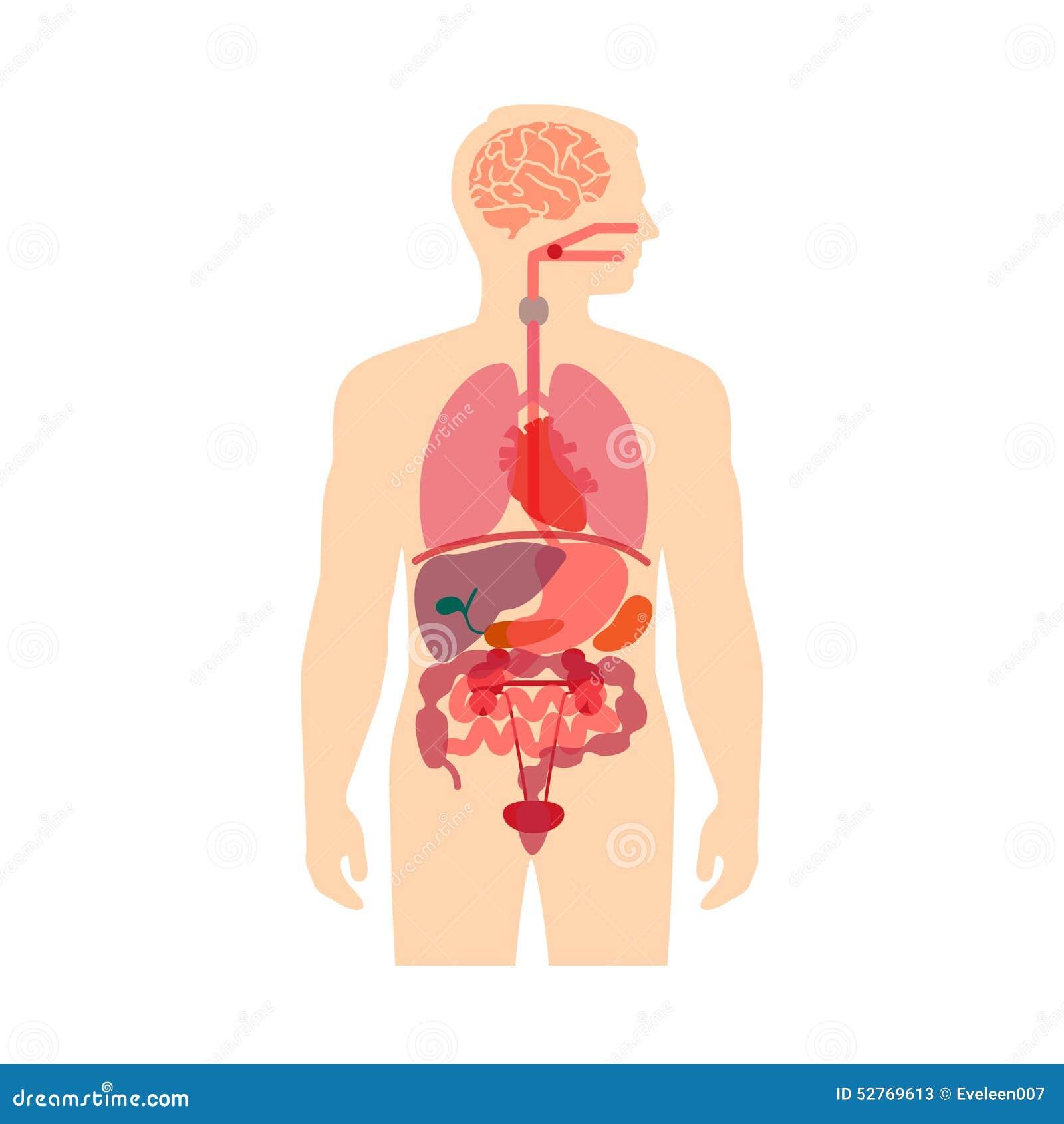 Menschlicher Körper-Anatomie Vektor Abbildung - Illustration von ...