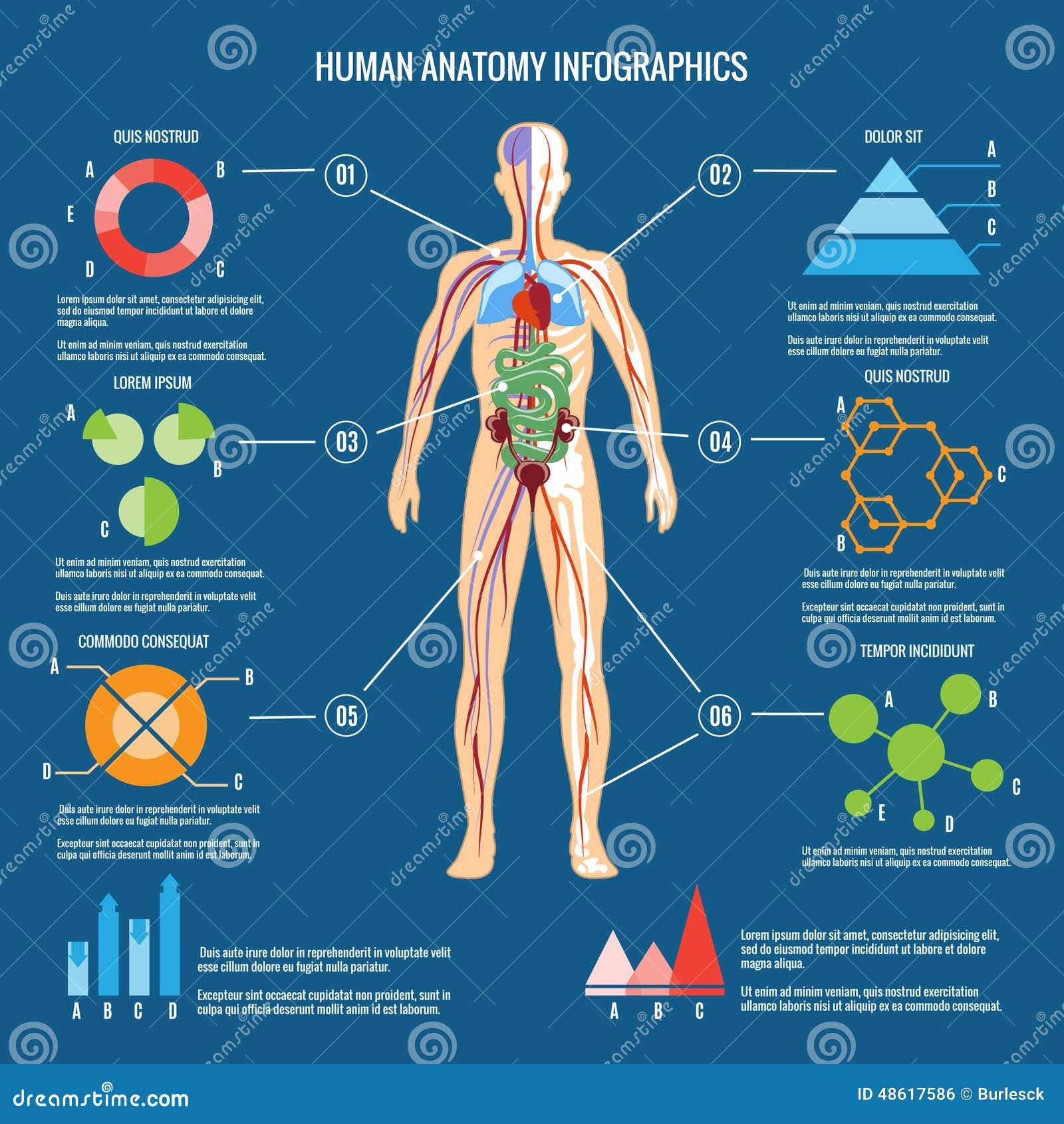 Menschlicher Körper-Anatomie Infographic-Design Vektor Abbildung ...
