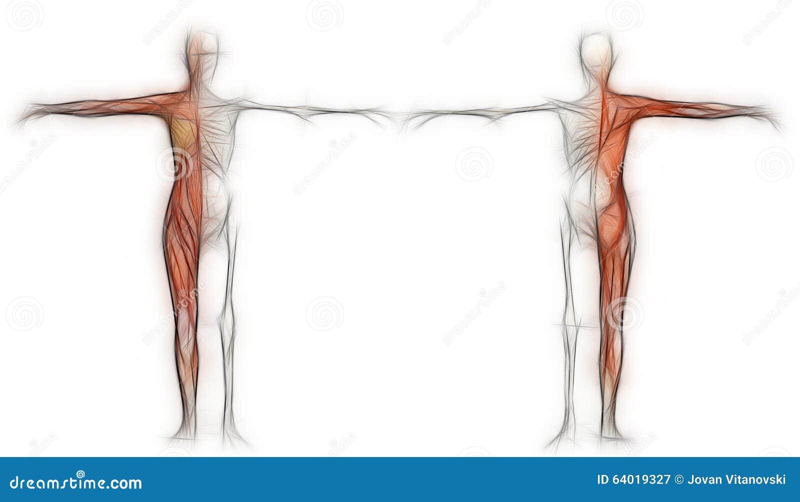 Menschlicher Körper Einer Frau Mit Den Muskeln Und Dem Skelett Stock ...