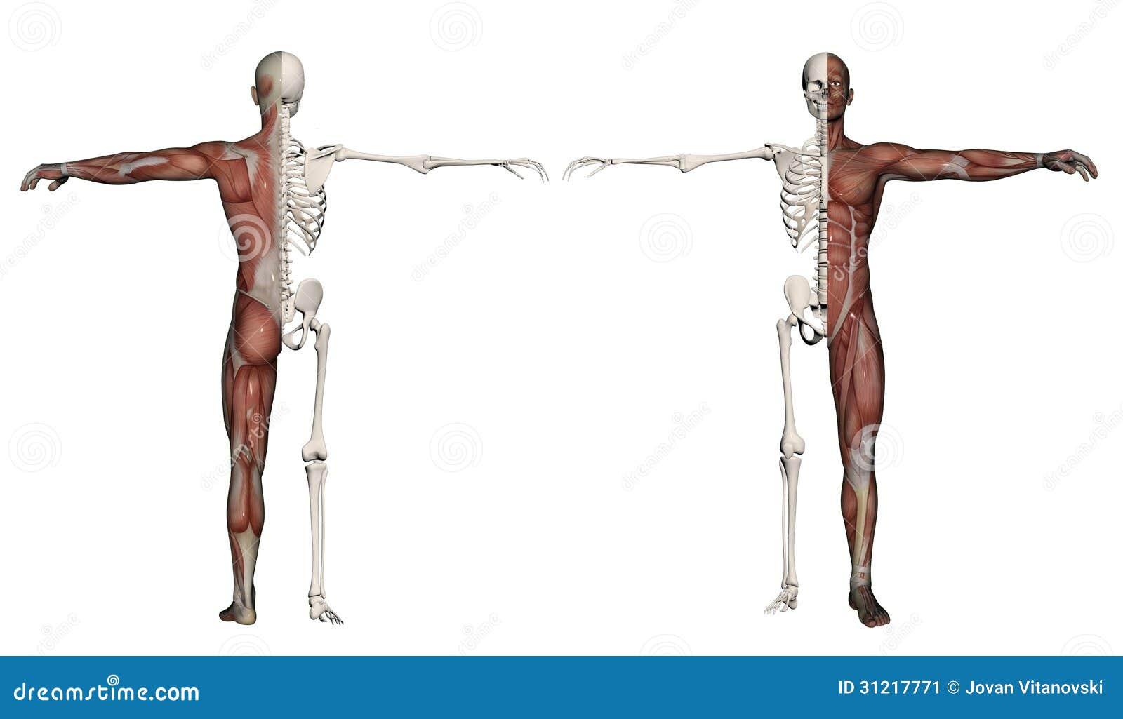 Menschlicher Körper Eines Mannes Mit Den Muskeln Und Dem Skelett ...