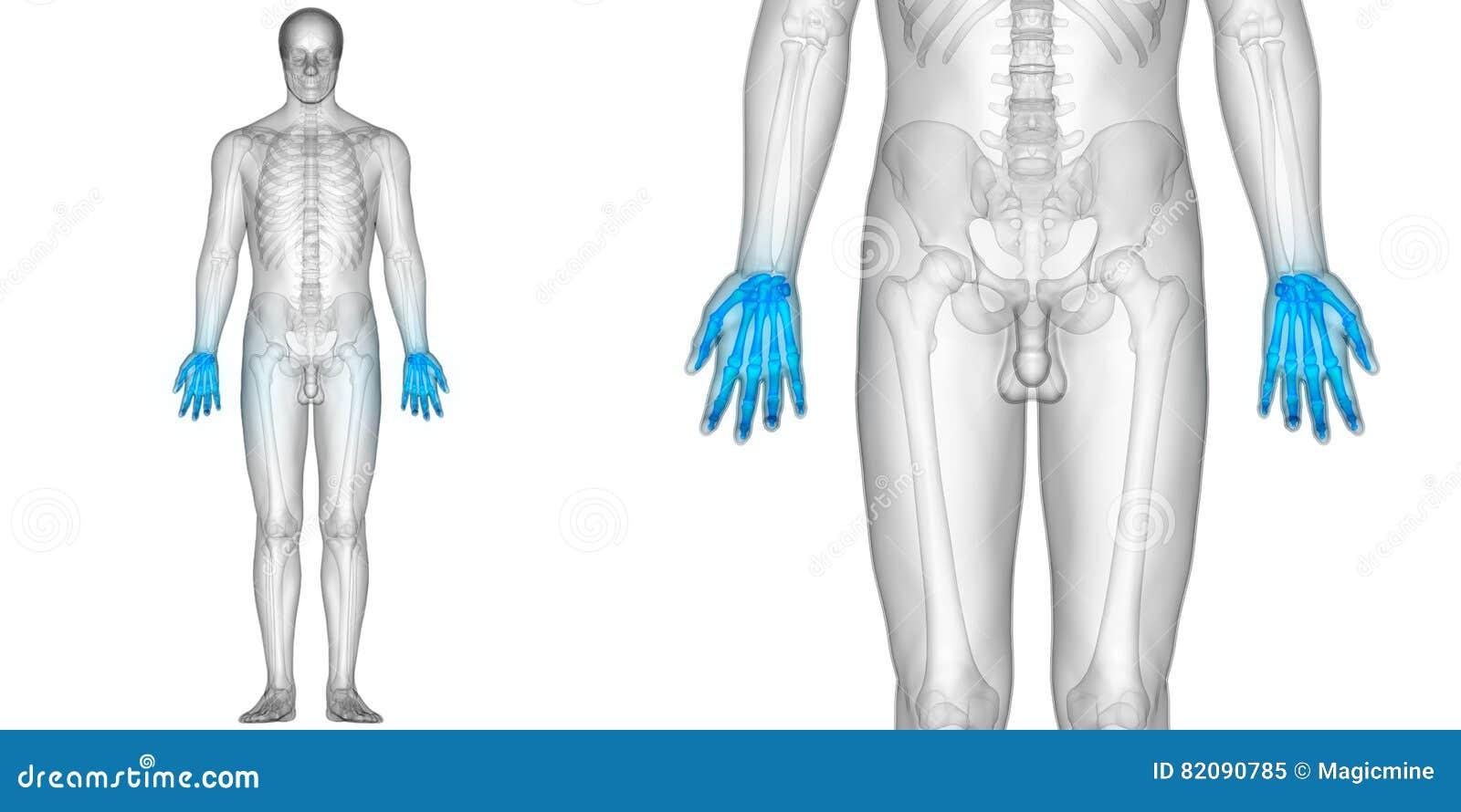 Menschlicher Körper-Knochen-Gelenkschmerzen-Anatomie-Finger-Gelenke ...