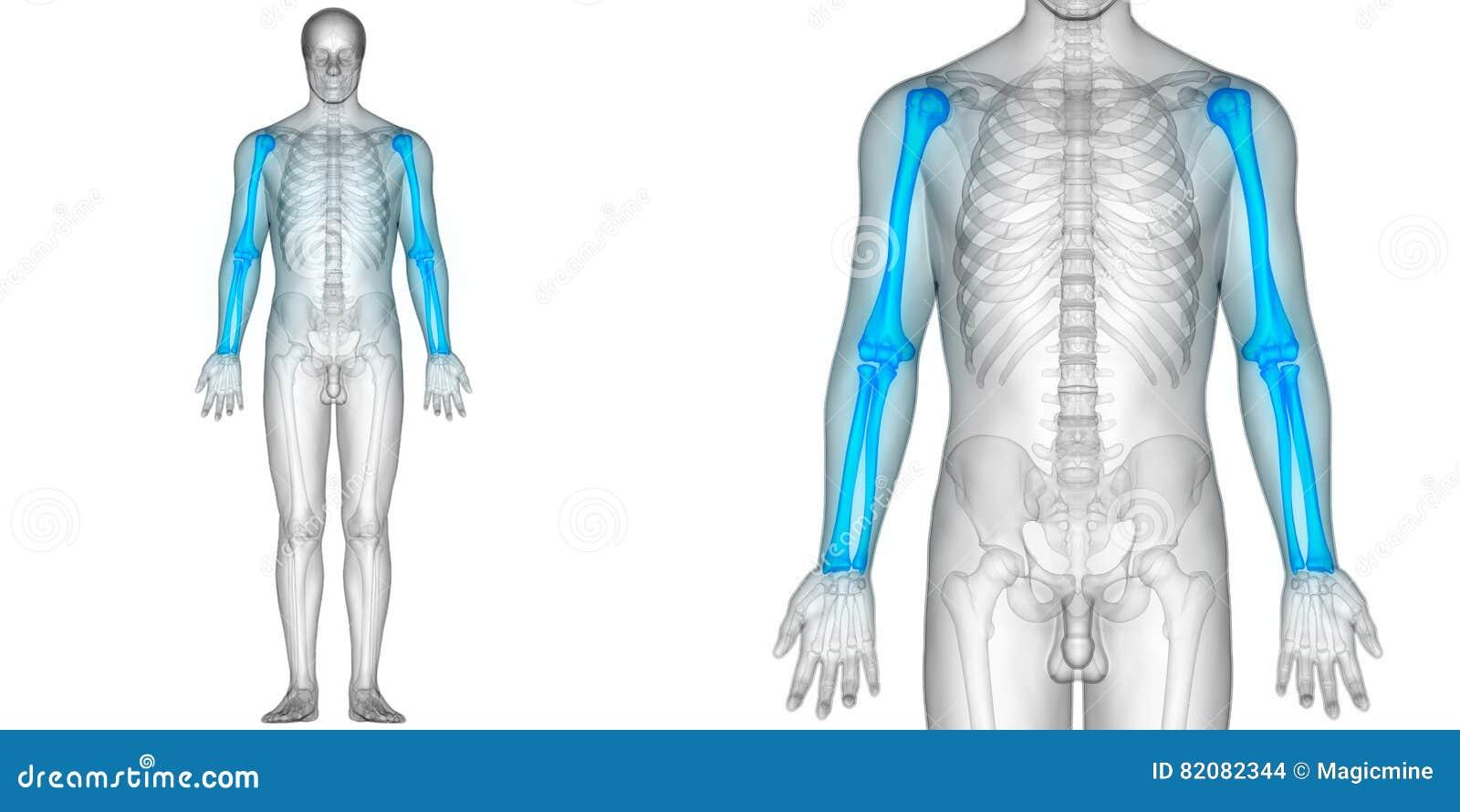 Menschlicher Körper-Knochen-Gelenkschmerzen-Anatomie-Humerus Mit Den ...