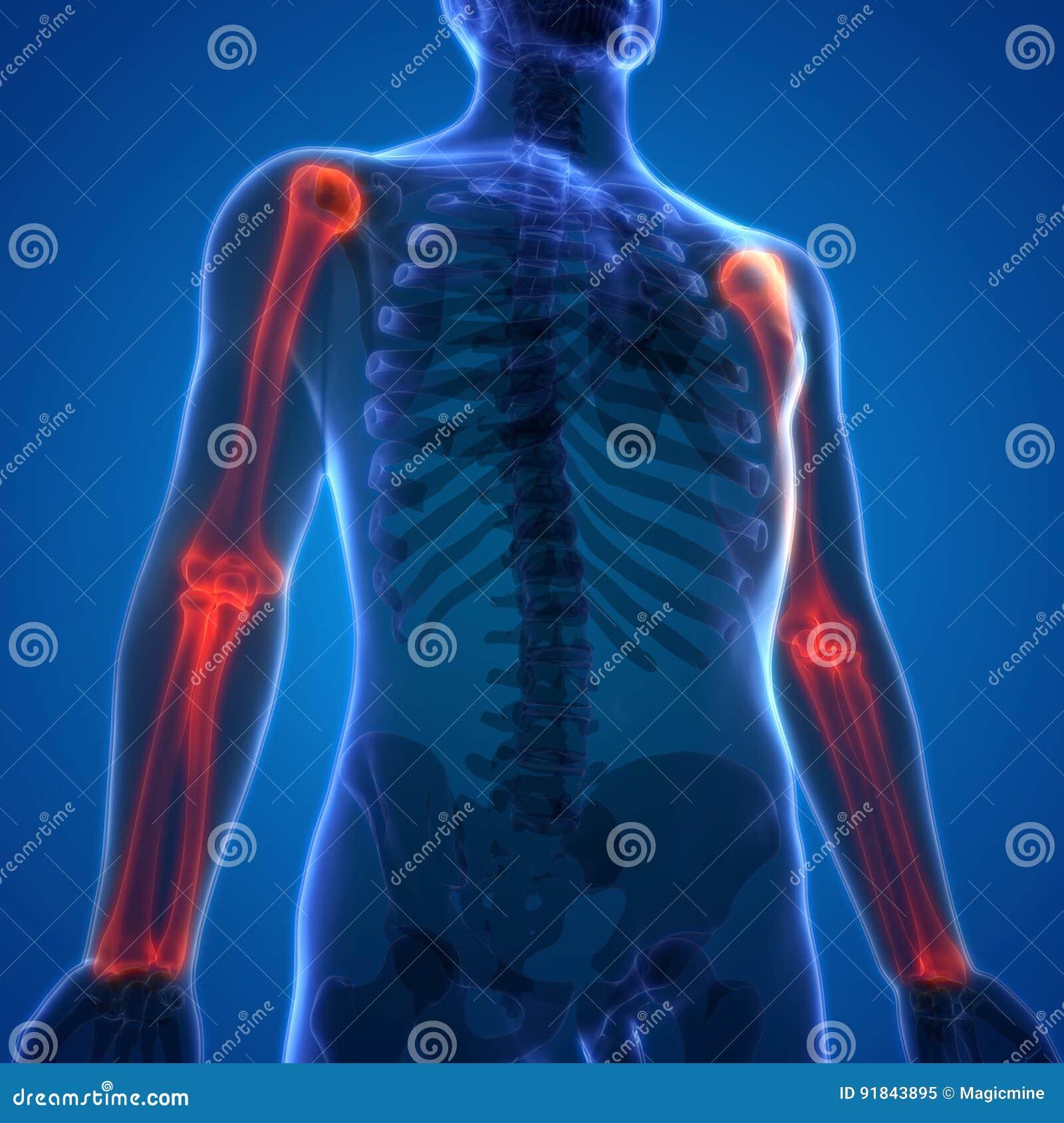 Menschlicher Körper-Knochen-Gelenkschmerzen-Anatomie-Humerus Mit ...