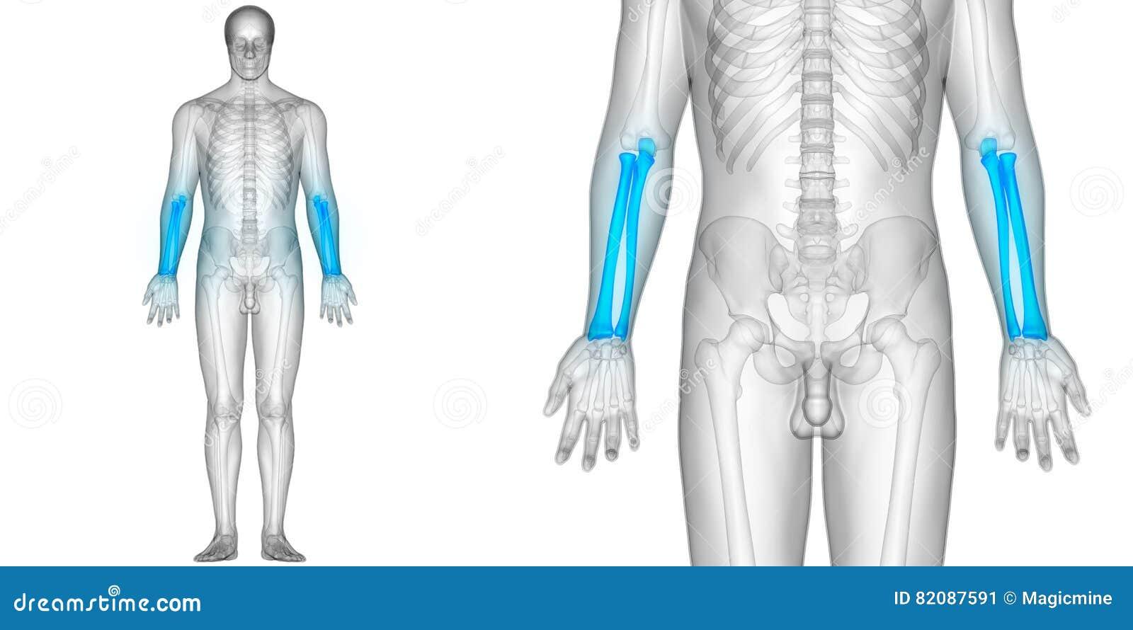 Menschlicher Körper-Knochen-Gelenkschmerzen-Anatomie-Radius-und ...