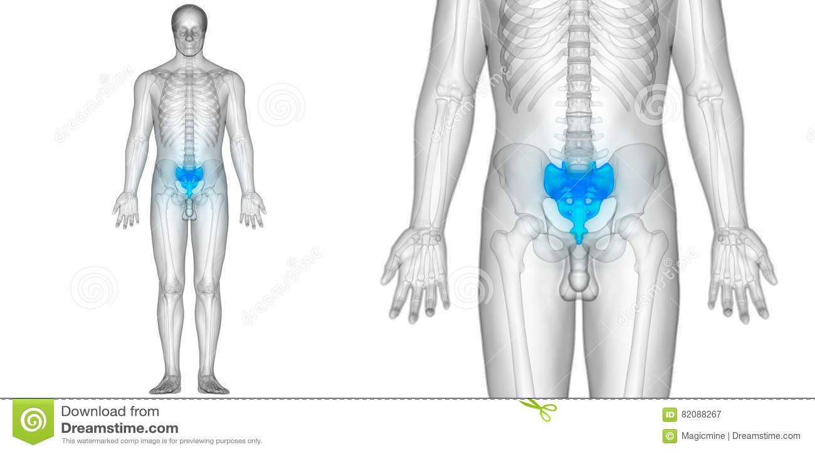 Menschlicher Körper-Knochen-Gelenkschmerzen-Anatomie Sacrum Stock ...