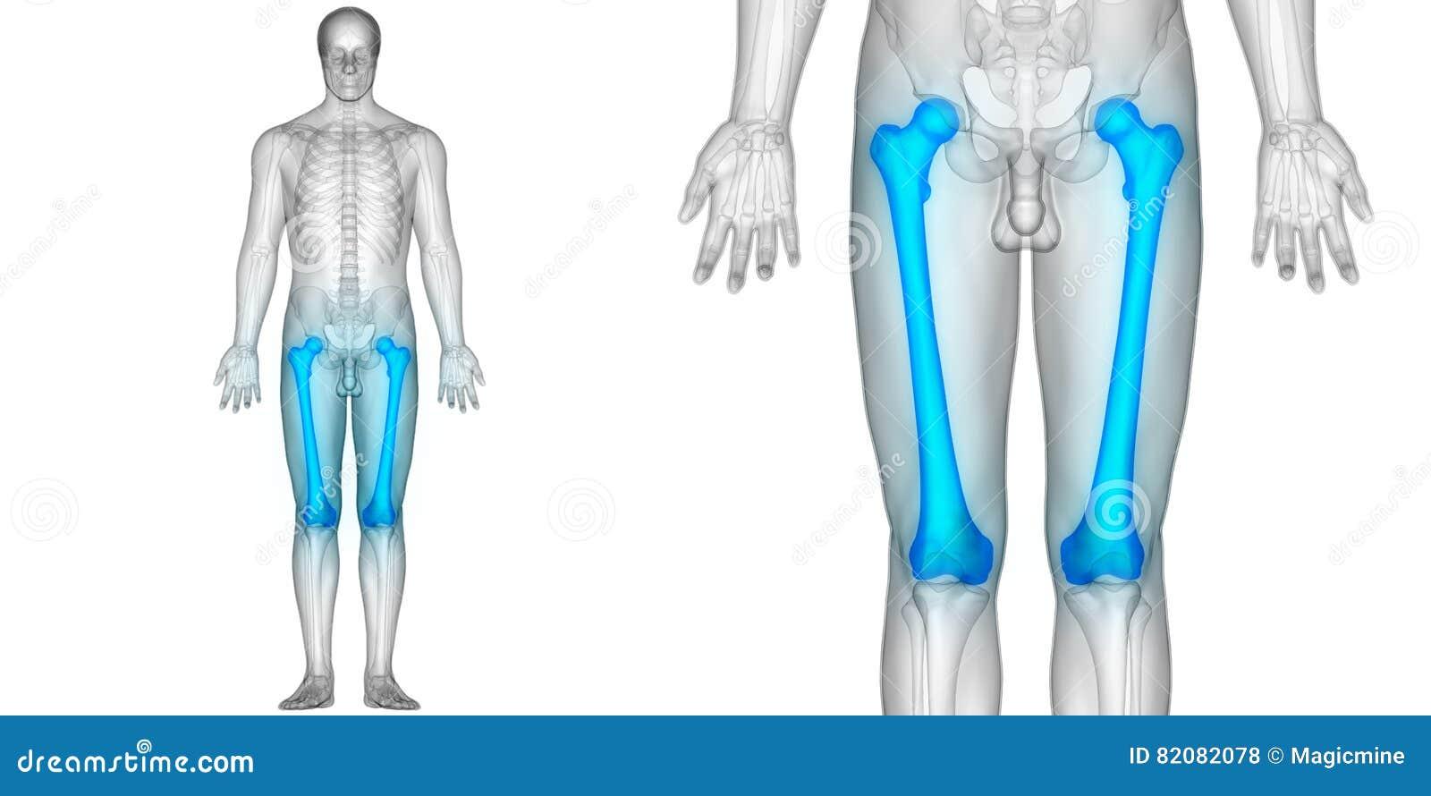 Menschlicher Körper-Knochen-Gelenkschmerzen-Anatomie-Schenkelbein ...