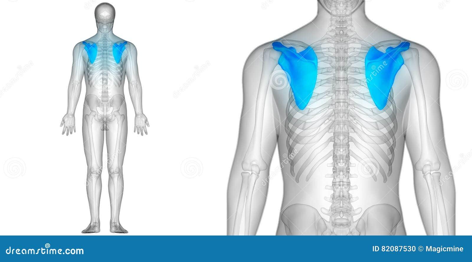 Menschlicher Körper-Knochen-Gelenkschmerzen-Anatomie-Schulterblatt ...