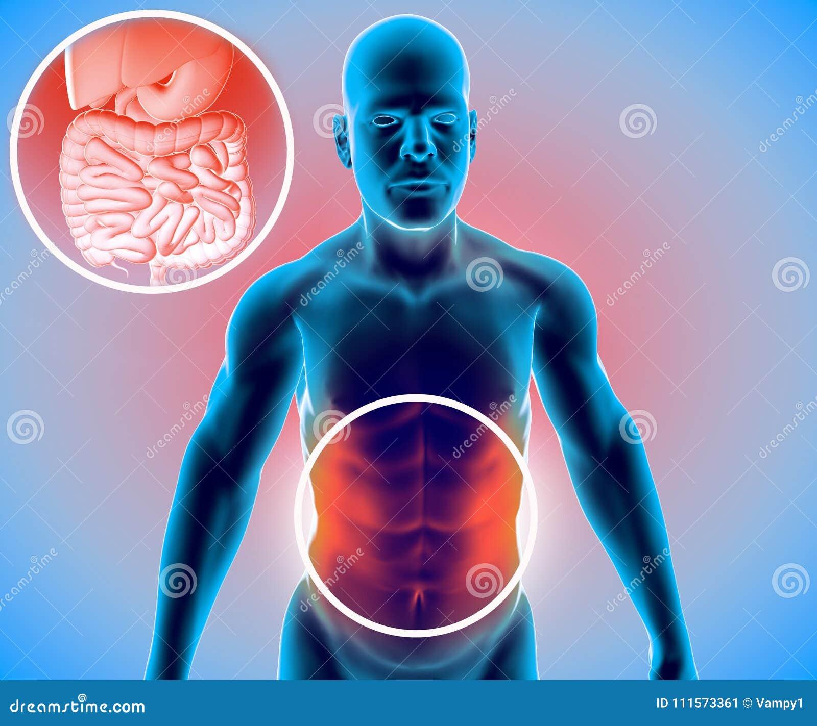 Menschlicher Körper, Mann, Verdauungssystem, Anatomie Darm ...