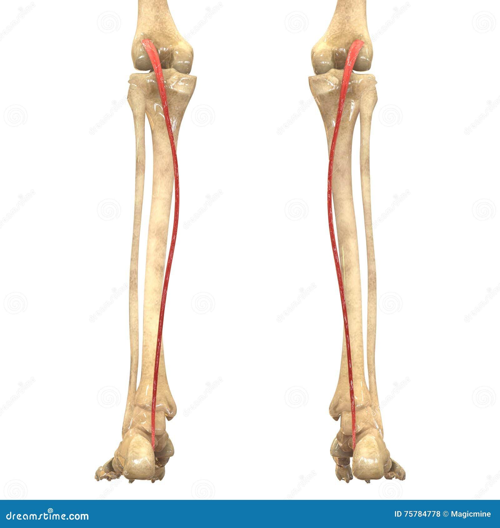 Menschlicher Körper Mischt Anatomie Mit (Plantaris) Stock Abbildung ...