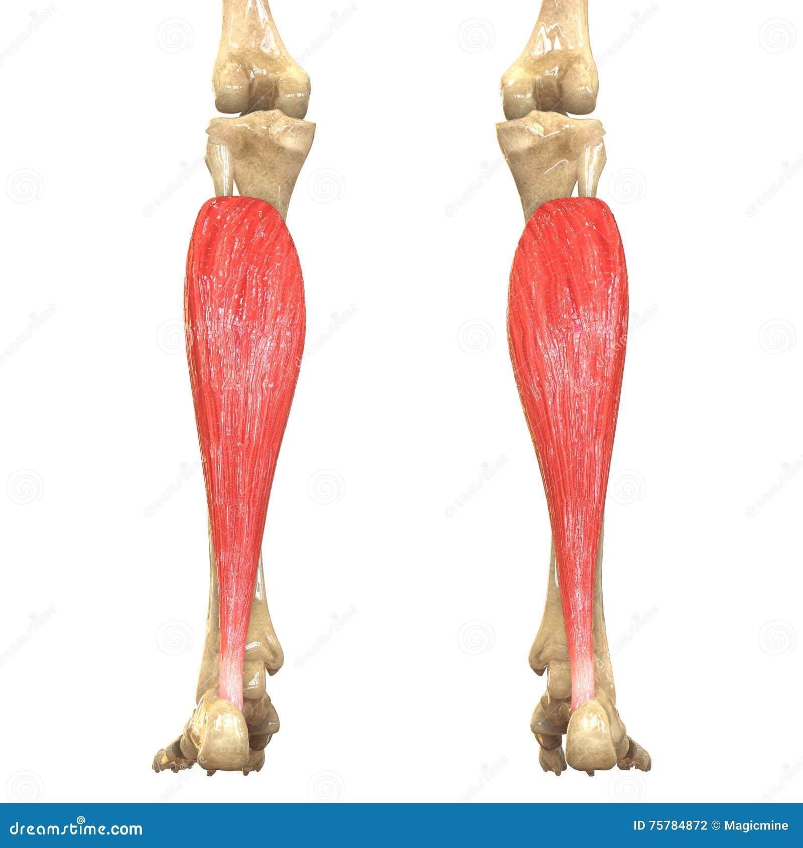 Ungewöhnlich Anatomie Des Menschlichen Körpers Henry Grau Fotos ...