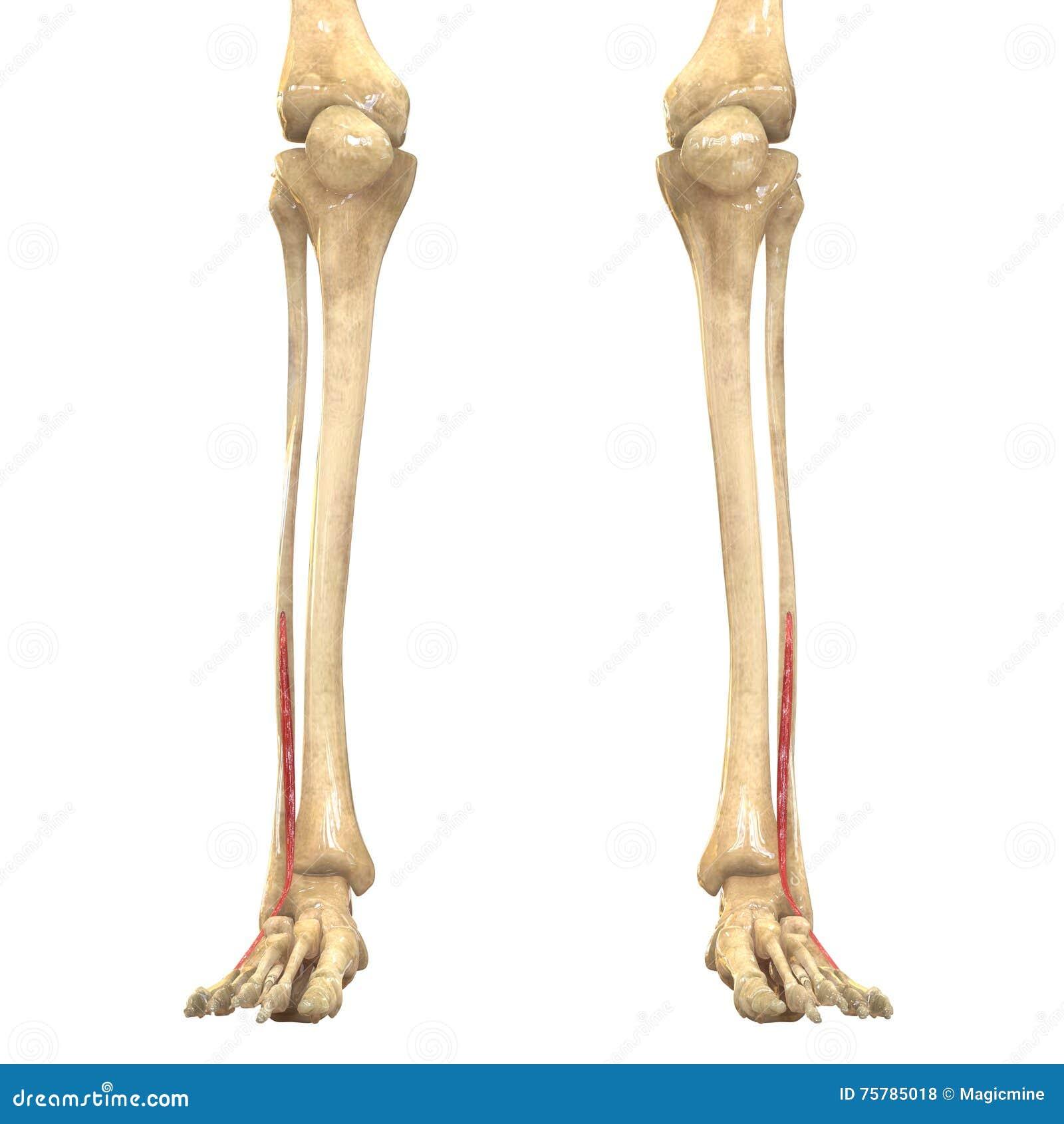 Menschlicher Körper Mischt Anatomie Mit (Vastus Lateralis) Stock ...