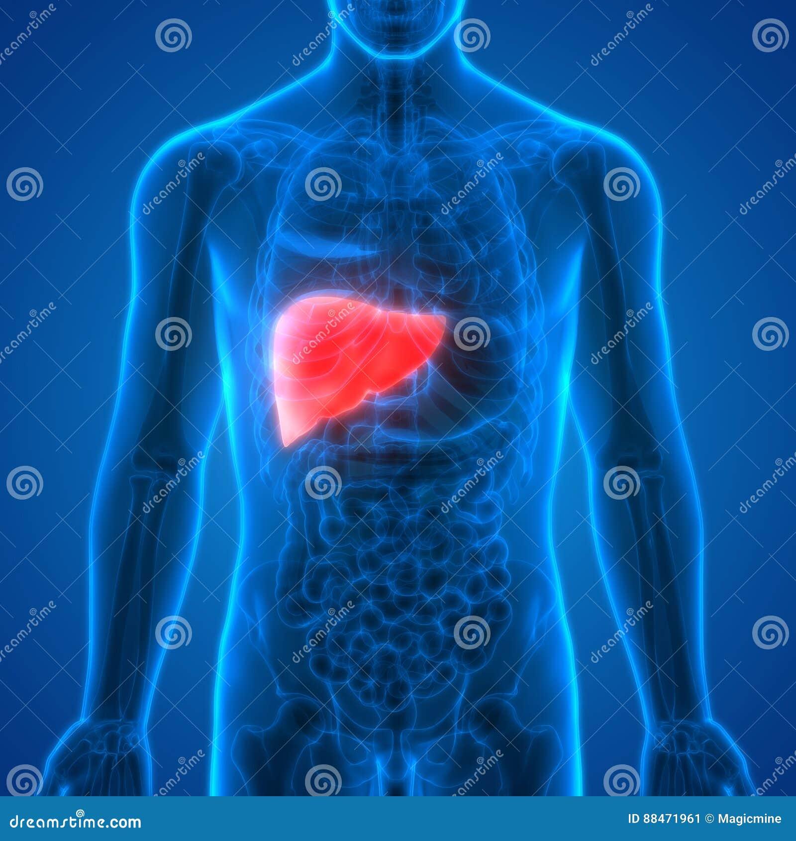 Menschlicher Körper-Organ-Anatomie-Leber Stock Abbildung ...