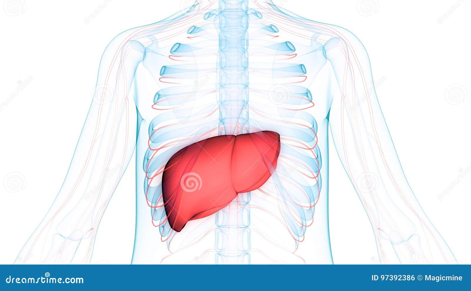 Menschlicher Körper-Organ-Anatomie-Leber Mit Nervensystem Stock ...