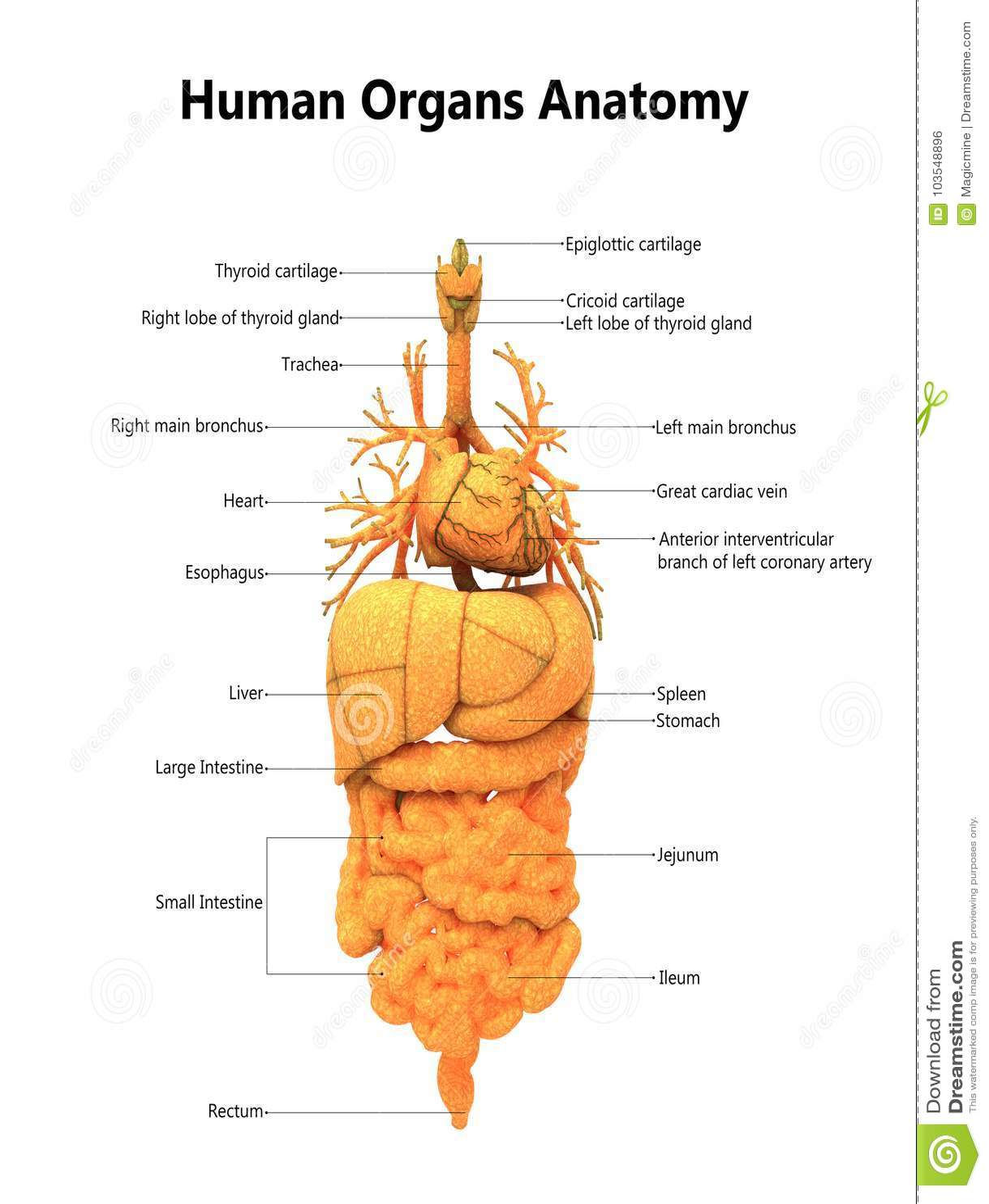 Menschlicher Körper-Organ-Anatomie Mit Ausführlichen Aufklebern ...