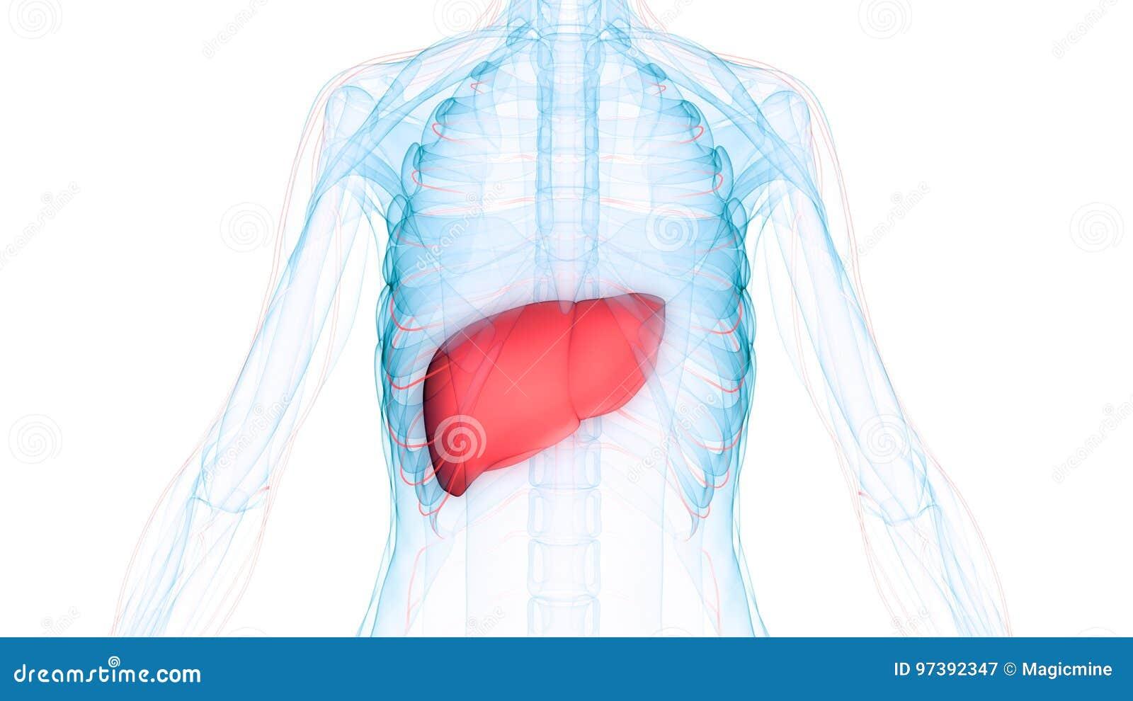 Menschlicher Körper-Organ-Anatomie U. X28; Leber Mit Nervösem ...