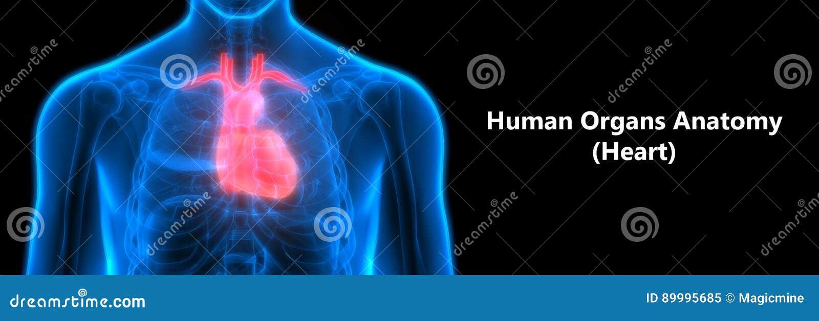 Großzügig Menschlicher Körper Herz Galerie - Menschliche Anatomie ...