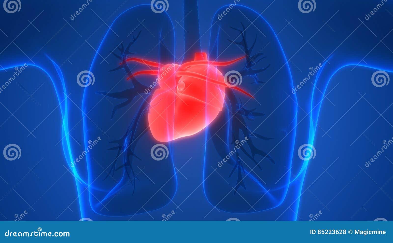 Menschlicher Körper-Organ-Herz-Anatomie-Rückansicht Stock Abbildung ...
