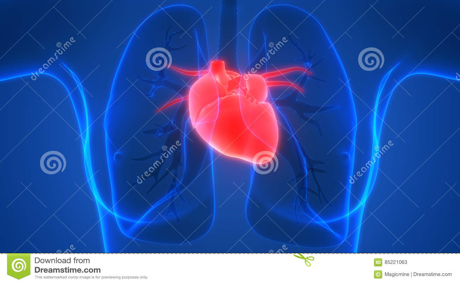 Menschlicher Körper-Organ-Herz-Anatomie-Vorderansicht Stock ...