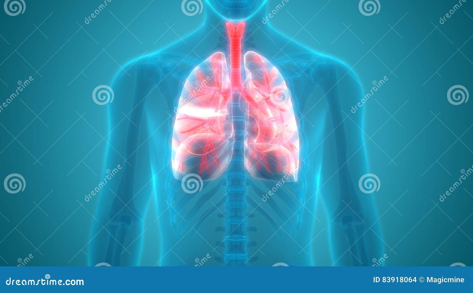 Menschlicher Körper-Organ-Lunge-Anatomie-Vorderansicht Stock ...